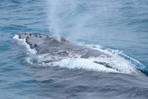 humpback Whale Cronulla NSW