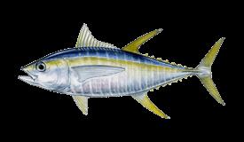 Yellowfin tuna fishing Cronulla Sydney
