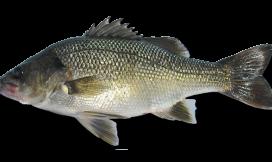 Australian bass fishing Cronulla NSW