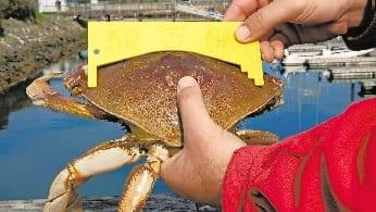 Crab measuring gauge