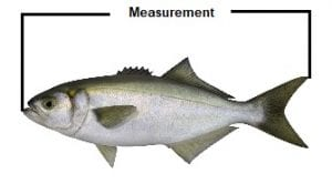 How to measure fish