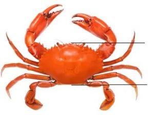 Measuring crabs