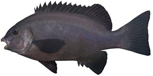 Rock Blackfish bag limits Cronulla NSW