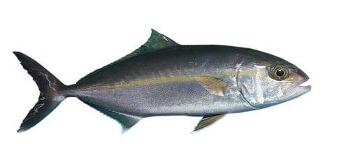 Amberjack Sailfish bag limits Cronulla NSW