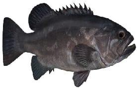 Bass Groper fish Cronulla Sydney