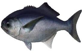 blue-eye-trevalla-fish-cronulla