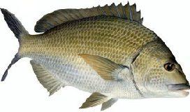 Bream black southern fish Cronulla
