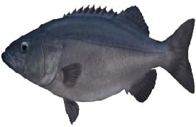 Hapuka fish Cronulla Sydney