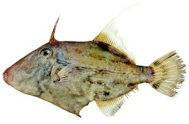 Leatherjacket fish Cronulla Sydney