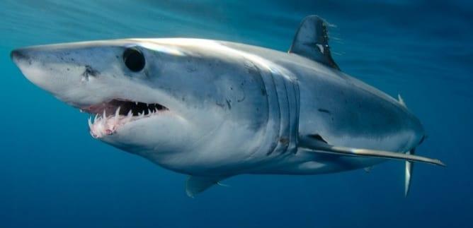 Mako shark bag limits Cronulla NSW