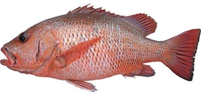 Mangrove Jack bag limits Cronulla