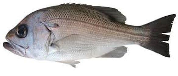 Pearl Perch bag limits Cronulla NSW