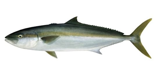 Spanish mackerel bag limits Cronulla