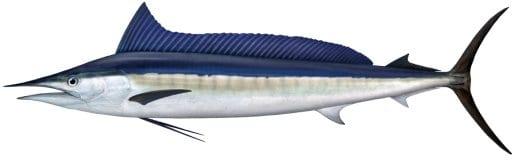 Spearfish bag limits Cronulla NSW