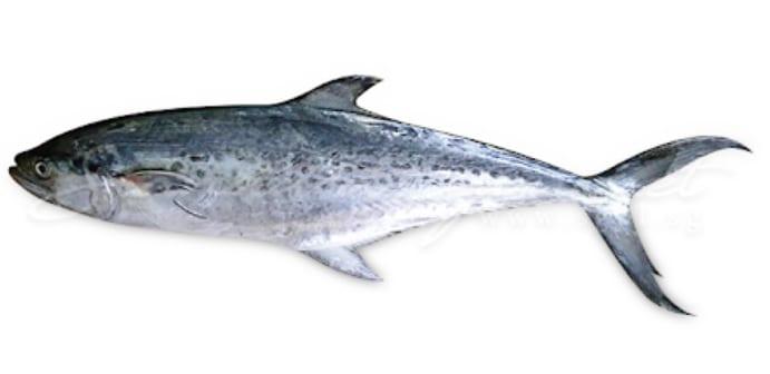 Spotted mackerel bag limits Cronulla