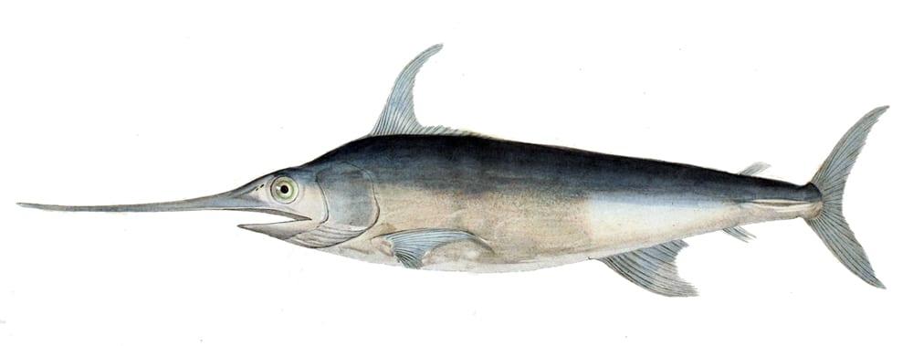 Swordfish bag limits Cronulla NSW
