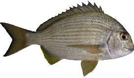 Tarwhine fish Cronulla