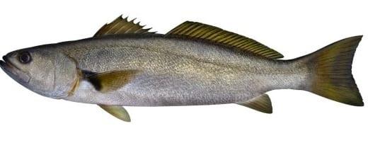 Teraglin fish bag limits Cronulla NSW