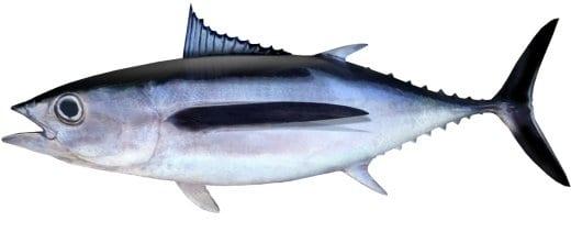 Tuna Albercore bag limits Cronulla NSW