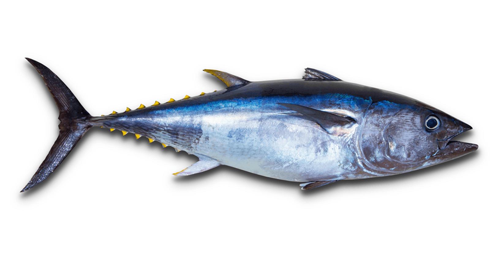 Tuna Bluefin bag limits Cronulla NSW