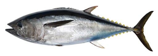 Tuna fish bag limits Cronulla NSW