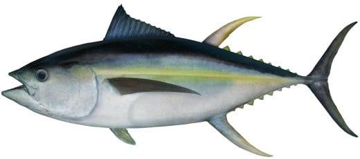 Tuna Yellowfin bag limits Cronulla NSW