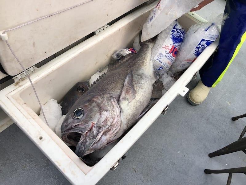 Blue eye cod fishing charter Cronulla Sydney