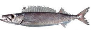 Gemfish fishing Cronulla Sydney NSW