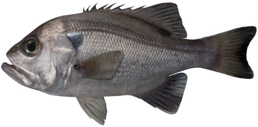 Pearl Perch fishing seasons Sydney