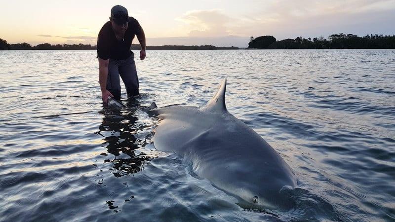 Bull shark fascination